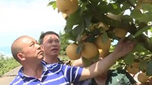 涟源:打造金秋梨产业基地