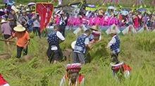 桑植:白族群众庆祝开镰收割节