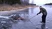 溜冰运动员砸冰半小时 只为救这只落水的麋鹿
